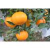 供应适合永州推广发展超过沃柑柑橘新品种大雅一号杂柑苗