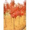 2017年最新北美红栎价格行情3公分北美红栎价格多少