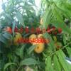 黄桃树苗价格;黄桃树苗多少钱一棵