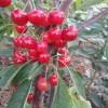 矮化樱桃苗供应
