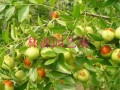 枣树品种冬枣