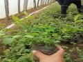 出售蓝莓苗