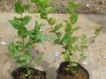 50公分蓝莓苗