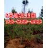 2米油松价格=今年2米占地油松价格