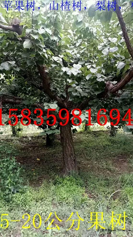 占地杏树,12公分杏树,10公分杏树15公分杏树20公分杏树