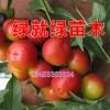 内蒙古钙果苗 甘肃钙果苗 北京钙果苗 新疆钙果苗专供