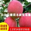 信德苗圃 专业种植苹果苗 新品种苹果苗价格 金帅苹果苗