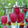 矮化烟富8号苹果树苗 优质山东烟富8号苹果苗种植示范基地