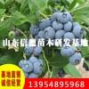 批发优质果树苗兔眼蓝莓苗 当年结果 盆栽地载蓝莓果树苗