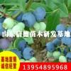 河南适合种植什么品种蓝莓苗 伊丽莎白蓝莓苗批发