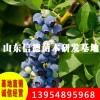 大量供应莱克西蓝莓苗 价格低廉
