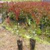 红叶石楠营养杯苗 红叶石楠价格 红叶石楠绿化苗行情