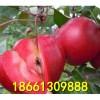 红色之爱苹果苗 2017苹果苗新品种 红色之爱苹果苗价格信息