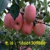 红富士苹果树苗哪里有卖 山东泰安红富士苹果嫁接苗多少钱一棵