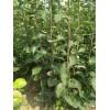 梨树苗供货商=梨树苗产地 梨树苗价格 梨树苗品种=山西专卖