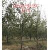 出售占地梨树**7公分梨树**8公分梨树**9公分梨树量大