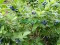蓝丰蓝莓苗价格