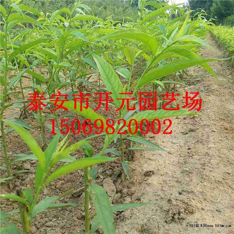 圆红桃苗/澳红翠桃树苗价格 果树小苗 绿化苗木 供应