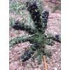 吉林枸杞苗、哪里有卖黑枸杞苗的 出售黑枸杞苗 树苗怎么种植