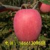 枣庄哪里有苹果树苗卖 台儿庄嫁接苹果苗基地 100棵起售