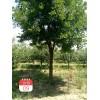 山西绛县出售国槐行道树10公分到15公分