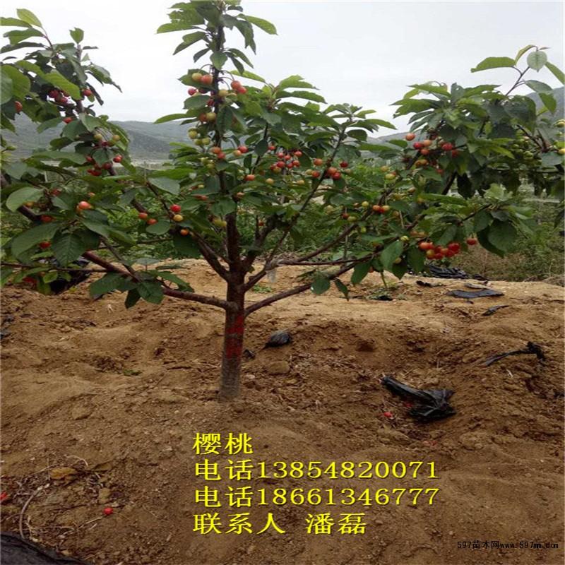 哪里有俄罗斯八号樱桃树苗 北集坡樱桃树苗多少钱一棵图片