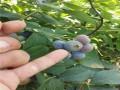 杜克蓝莓苗介绍