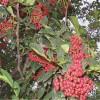 花椒苗 大红袍花椒苗出售 山东60高花椒树苗价格 图片