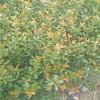 红叶石楠杯苗 30-60公分营养杯红叶石楠苗价格