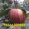 早酥红梨梨树苗哪里有 山东泰安早酥红梨树苗价格 100棵起售