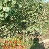 杏树苗价格 哪里卖杏树苗 出售3公分杏树苗多少钱以一颗