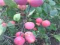 新金帅苹果苗