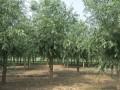 柳树苗木基地
