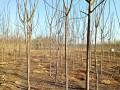 火炬樹樹苗6公分火炬樹