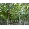 法桐种植基地出售法桐