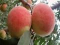国庆红桃树