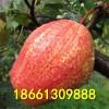 2017年早酥红梨树苗新品种 优质早酥红梨树苗 品种纯正