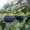 黑柿子苗价格、黑柿子树苗多少钱、黑柿子树苗价格