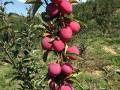 辽宁鸡心果苹果树苗