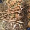 3公分柿子树价格、4公分柿子树价格、山西柿子树出售