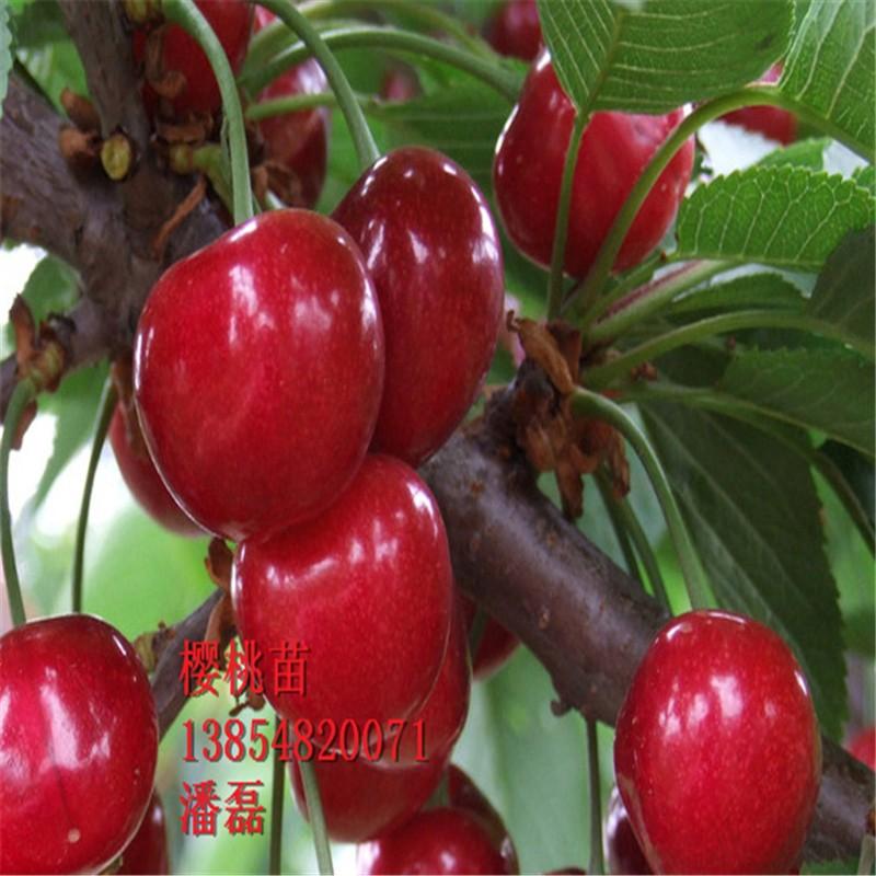 红灯樱桃树苗