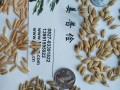 大麦燕麦种子