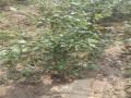 杜克蓝莓苗基地