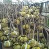 5公分杏树苗能结多少果
