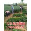 大红袍花椒苗品种=大红袍花椒树苗多少钱一棵=花椒苗价格