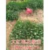 大红袍花椒苗=大红袍花椒树苗=大红袍花椒苗价格