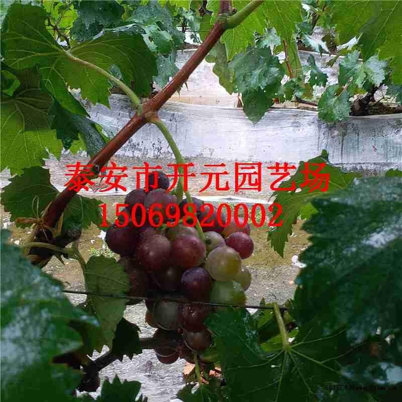 30 天,有的当年就能开花结果,第二年就能普遍结果,而春季栽植的葡萄苗
