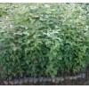 求购枫香袋苗米径2厘米