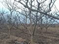 3-25公分山楂树