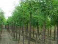 3-25公分刺槐